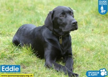 Latest Eddie Pupdate from the Guide Dogs - Featured Image