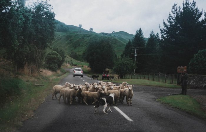 travel-costs-America-vs-new-zealand-sheep-on-road-image
